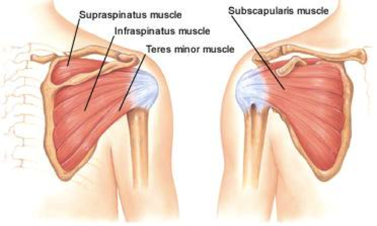 ShoulderMuscles