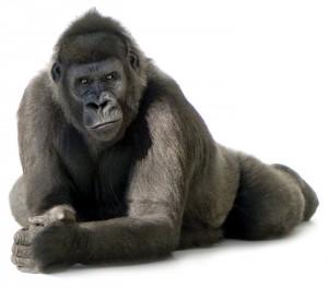 Gorilla-201100285920